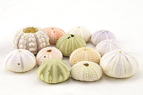 Sea Urchin | Assortment of Imperfect Sea Urchins | 12 Variety Pack | Flawed Pink Purple Green Sea Urchin Shells | Great for Craft and Decor | Nautical Crush Trading TM Sea Urchin Shell