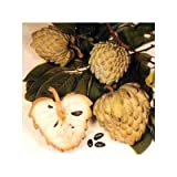 Seeds and Things Sugar Apple Tree 8+ Seeds - Annona Squamosa – Bonsai