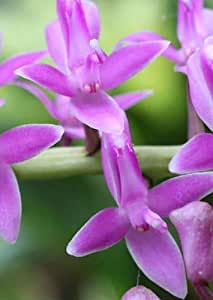 Exotic Plants Micropera rostrata - orchid - 100 seeds