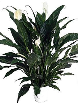 ('Domino' Peace Lily Plant - Spathyphyllium - NEW - Easy - 6
