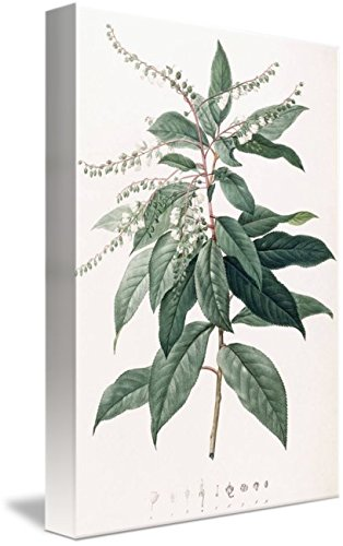 Wall Art Print entitled Clethra Arborea (Lily Of The Valley Tree) by The Fine Art Masters | 11 x 16 (Lily Of The Valley Florist)