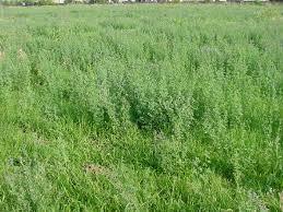 390 HYQUAL Alfalfa Pre-Inoculated & Coated Seed (50 LBS) Bag by Deer Creek Seed (Image #1)