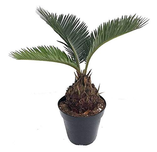 Japanese Sago Palm - Living Fossil Plant - Cycas revoluta - 4