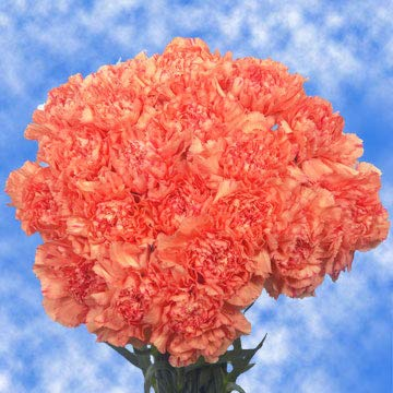GlobalRose 300 Fresh Cut Orange Carnations - Fresh Flowers Wholesale Express Delivery by GlobalRose (Image #4)
