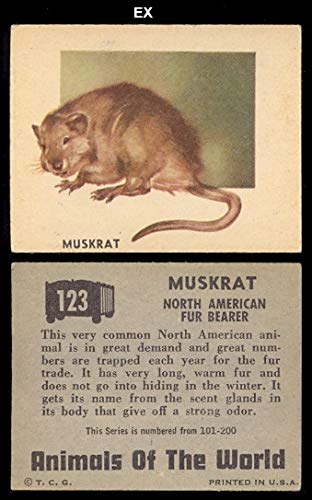 (1951 Topps Animals of the World (R714-1) (Non-Sports) card#123 Muskrat of the Grade Excellent)