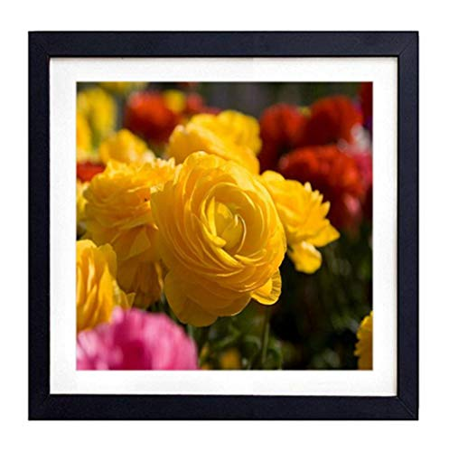 GLITZFAS PRINTS Framed Wall Art - Roses Flowers Garden Miscellaneous Loose - Art Print Black Wood Framed Wall Art Picture for Home Decoration - 14x14 (35cmx35cm) - Framed