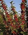 Nanking Cherry Tree 15 Seeds (Prunus tomentosa) Fruit Tree