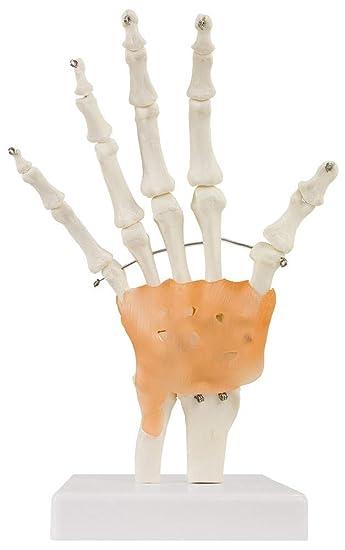 Hand Handmodell Anatomie Modell Handgelenk Anatomisches Menschliches ...