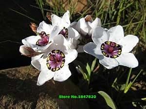 Envío 100pcs semillas color de rosa tricolor semillas para el jardín de flores Sparaxis Home.Semillas de Flores.Blue blanco rosado anaranjado de Rose