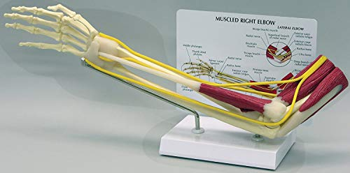 Muscled Elbow Joint Anatomical Classroom Education Model CEM (Renewed)