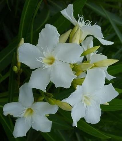 Amazon white oleander nerium oleander shrub tree seeds white oleander nerium oleander shrub tree seeds exotic plant 50 seeds mightylinksfo