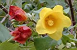 Hibiscus tiliaceus   Hau   Sea Hibiscus   Vau Tree   Green Cottonwood   20_Seeds