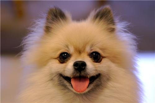 HAPPY POMERANIAN GLOSSY POSTER PICTURE PHOTO dog puppy cute funny cool -