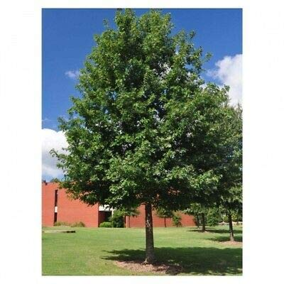Cherrybark Oak Tree - Southern Red - Established - 1 Gallon Potted - 1 Plant from Grandiosy Farm : Garden & Outdoor