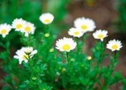 (SD1643 Roman Chamomile Herb Seeds, Fresh Garden Herb Seeds, New Live Seeds (130 Seeds))