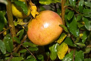 9EzTropical - Pomegranate Utah Sweet Fruit Tree Live Plant - 3 to 4 Feet Tall - Ship in 3 Gal Pot