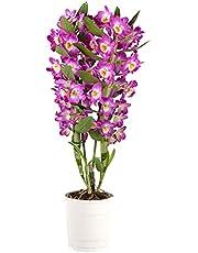 Dendrobium Comet King Akatsuki | Orchidee | Paars | Hoogte 50-60cm | Pot - Ø12cm