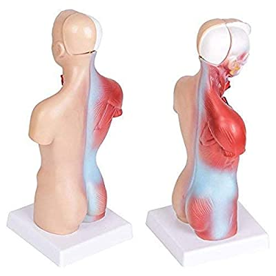 Human Torso Body Model Anatomy Anatomical Medical Internal Organs for Teaching Detachable Educational Medical Science Model New: Toys & Games