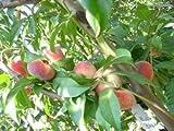 1 Bareroot of Donut Peach