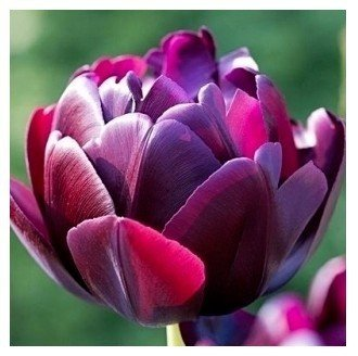 Tulip bulbs black white blue red rainbow purple pink tulip bulbs seeds, this is bulb 5 Bulbs (Item No: 3)