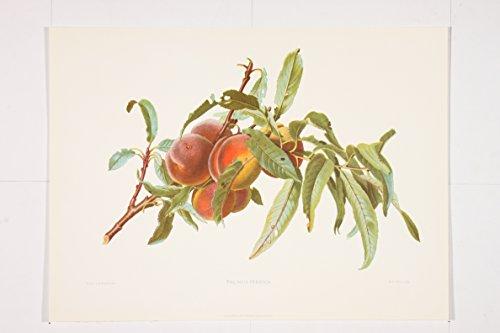 Ariel Press Prunus Persica Premium Art Print of Fruit by Carlos Von Riefel (12 x 16 in) -