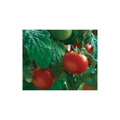 55+ Better Boy Tomato Seeds : Garden & Outdoor