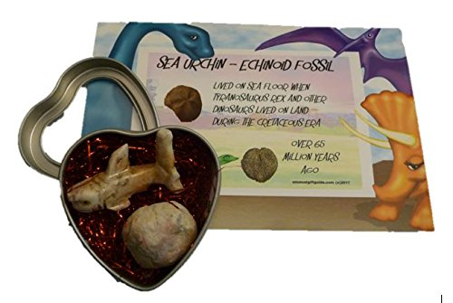 Real sea life dinosaur fossil with cute hand carved stone shark - Echinoid, Sea Urchin lived on sea floor while dinosaurs lived on earth - includes heart display tin . Great Birthday, Valentine, Anniversary, Christmas, any occasion gift