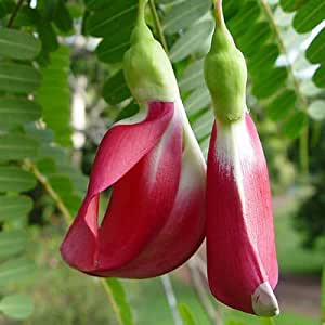 Amazon.com: Sesbania grandiflora HUMMINGBIRD TREE, Beautiful and Edible ~SEEDS~: Garden & Outdoor300 x 300 jpeg 12kB