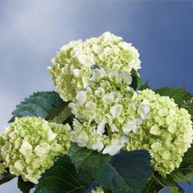 GlobalRose 10 Fresh Cut Green Mini Hydrangeas - Fresh Flowers For Weddings or Anniversary. by GlobalRose (Image #5)