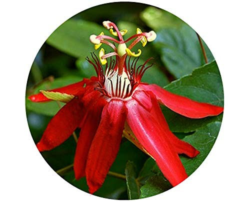 Passion Flower Maypop - Scarlet Flame Red Passion Flower Vine Live Plant Passiflora Hybrid Starter Size 4 Inch Pot Emeralds TM