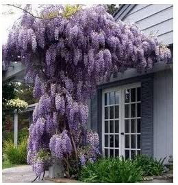 Amazon Com Blue Chinese Wisteria Vine 100 Seeds Garden Outdoor