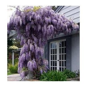 Seeds and Things Blue Japanese Wisteria Vine 10 Seeds - Hard to Find! Stunning by Seeds and Things