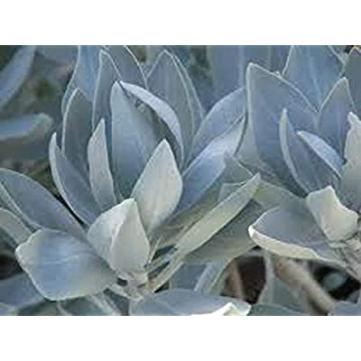 Risalana White Sage Seeds, for Native Smudging Bundle, Salvia apiana, Herb Plant, Perennial Plant, Lovely Contrasting Color, Ceremonial Plant : Garden & Outdoor