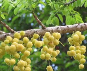 Phyllanthus acidus - Otaheite Gooseberry - Star Gooseberry - 5 seeds