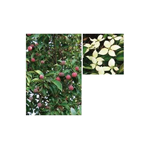 オンリーワン 植栽美しい花 ホンコンヤマボウシ(常緑)月光(株立) UN6-THKY B01EPV8Y34