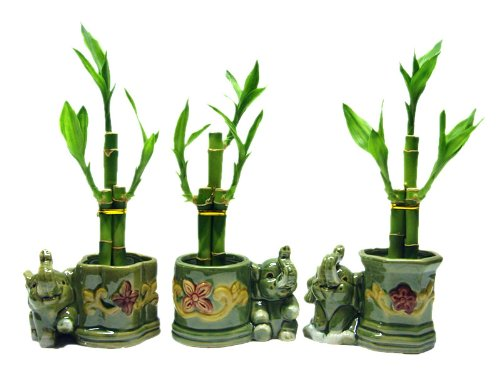 3 Sets of Lucky Bamboo Arrangements in 3 Different Shapes of Lucky Bamboo Vase with Elephant.