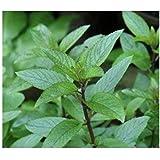 Mentha piperita - Echte Pfefferminze - Minze - 250 Samen
