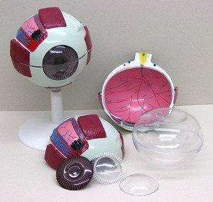SEOH Human Eye 6X Model for Biology Classroom