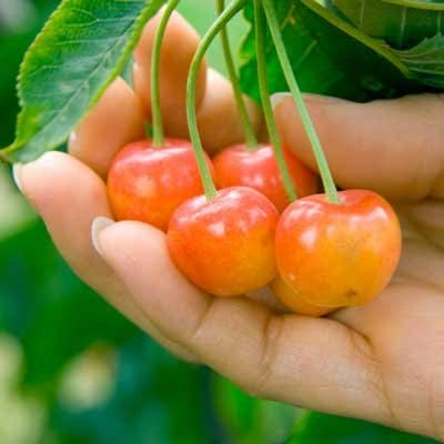 Brighter Blooms Dwarf Rainier Cherry Tree