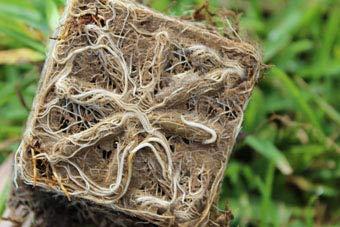 Gulf Kist 'Classic' St Augustine Grass Plugs - 36 Count by Gulf Kist (Image #4)