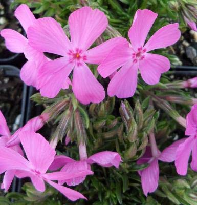 Classy Groundcovers - Phlox 'Drummond's Pink' Creeping Phlox, Moss Phlox {25 Pots - 3 1/2 in.}