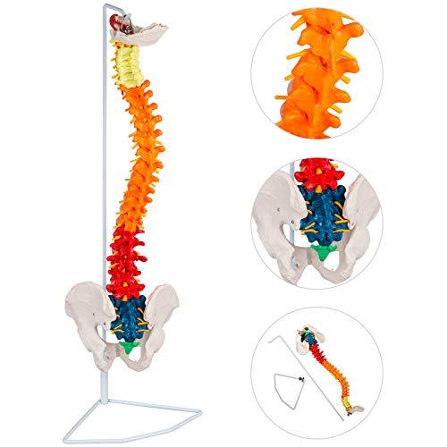 VEVOR Vertebral Column Model 33Inch85cm Total Height Skeleton Spine Model 30Inch75cm Life Size Colorful Spine ModelSpinal Nerves Skull Base and Pelvis Flexible Spine ModelStand / VEVOR Vertebral Column Model 33Inch85cm Total Height...