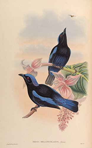 (Posterazzi Birds of Asia 1850 Blk-mantled Fairy Bluebird Poster Print by John Gould (24 x 36))