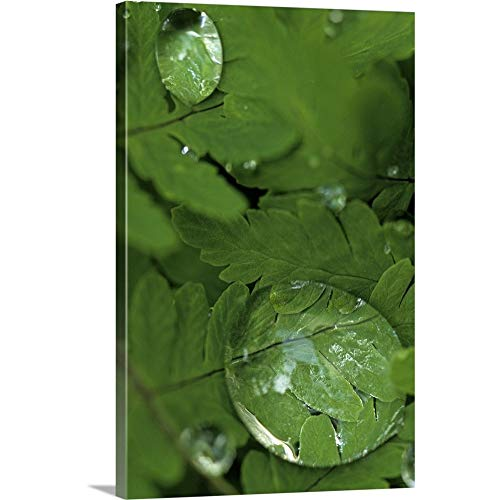 GREATBIGCANVAS Gallery-Wrapped Canvas Entitled Raindrops on Wood Fern Fronds Boreal Forest SC AK Summer Near Anchorage by Jim Barr ()