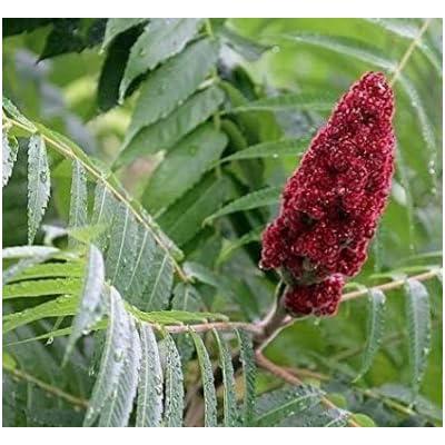 Cheap Fresh Shrub Seeds Rhus Typhina Staghorn Sumac Get 5 Seeds Easy Grow #GRG01YN : Garden & Outdoor