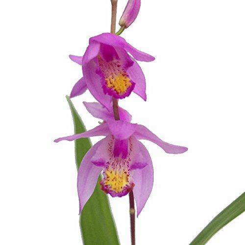 Kate Chinese Hardy Ground Orchid - Bletilla yokohama - 6