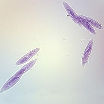 Euglena Microscope Slide