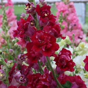 (Snapdragon Madame Butterfly Red 1,000 seeds)