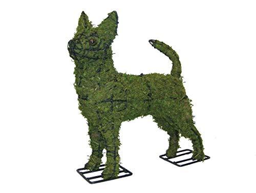 Chihuahua 16