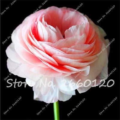 100 Pcs Mixed Ranunculus Flower Bonsai Home DIY Persian Buttercup Plant Bonsai Not Flower Bulbs